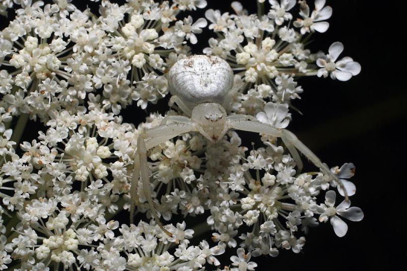 Kim Fleming - Flower Spider (Thomisidae)