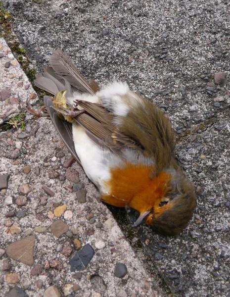 dead robin redbreast