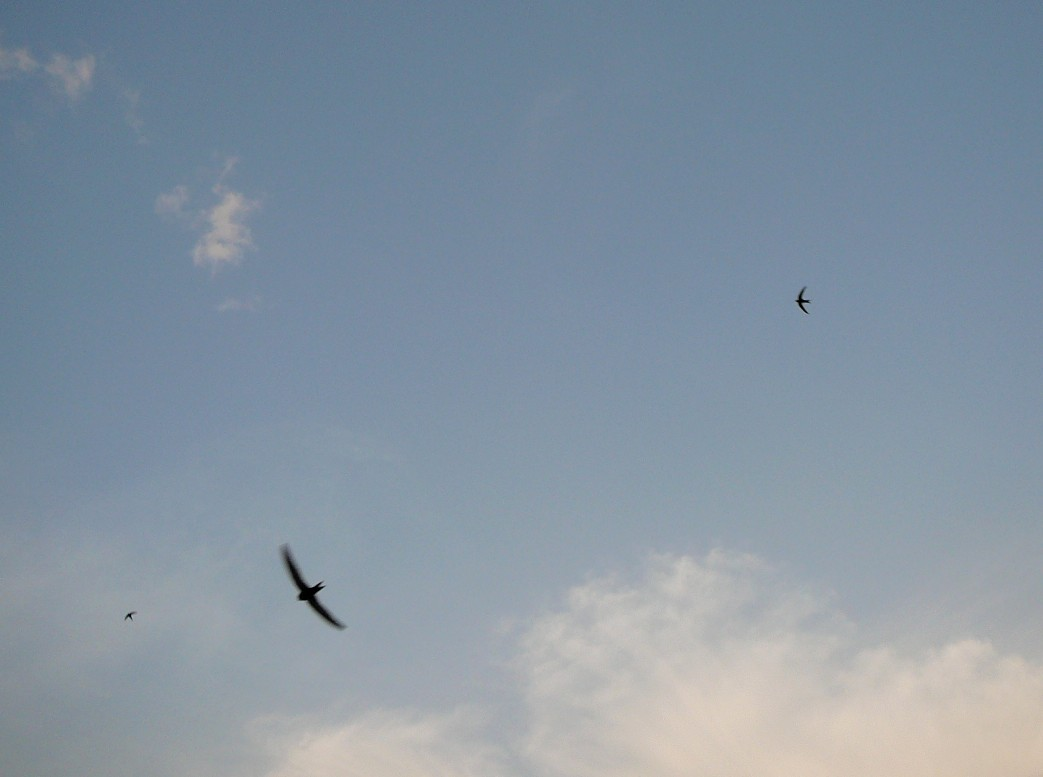 The swifts round the house I live in - May 2008