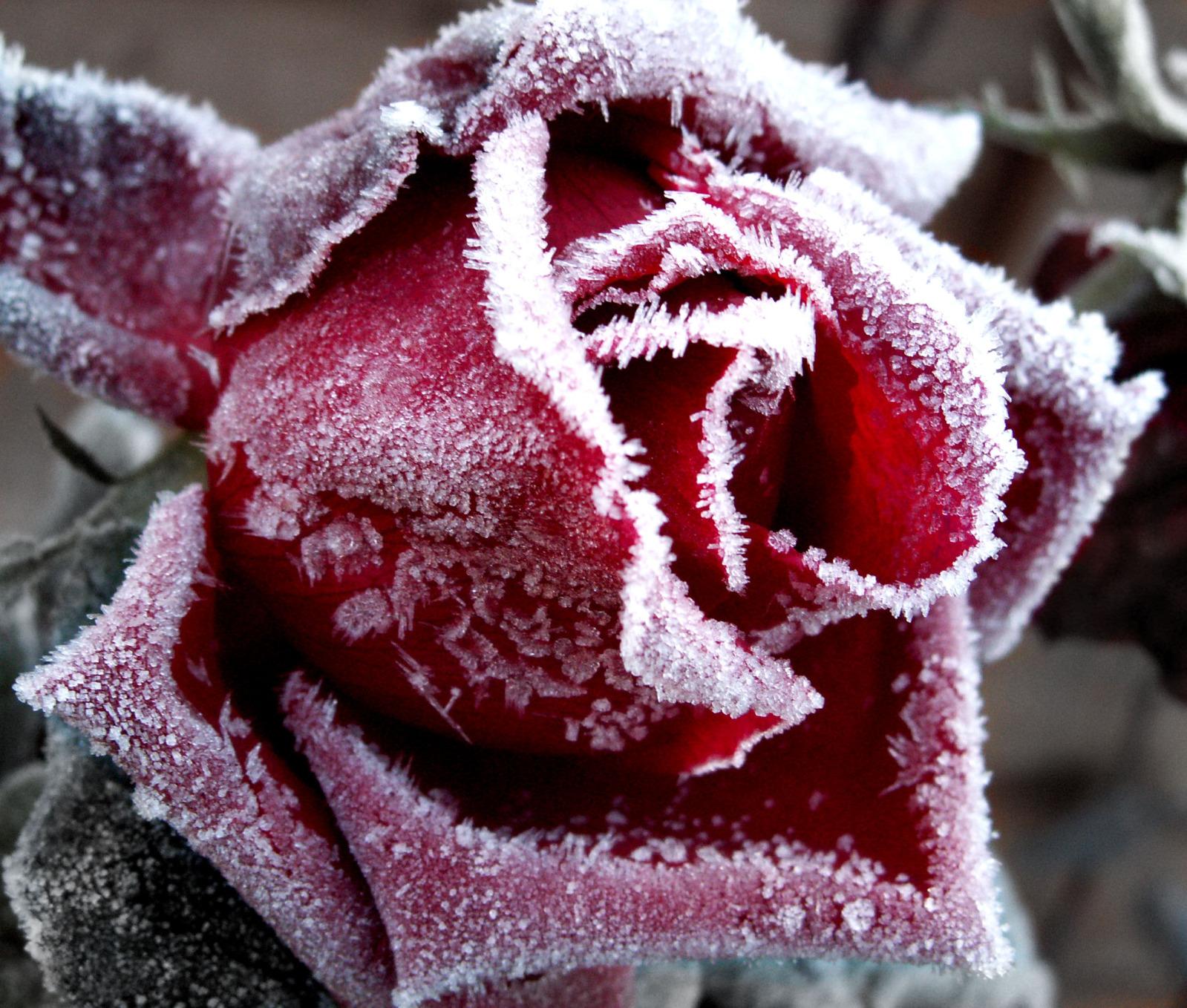 Rose frost.jpg