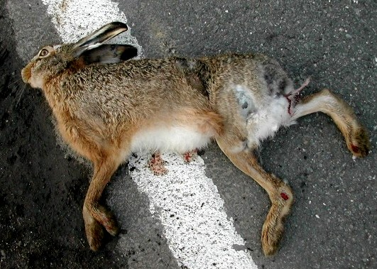 dead hare killed by a car