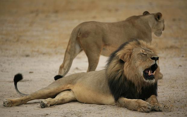 cecil-the-lion_3390098b
