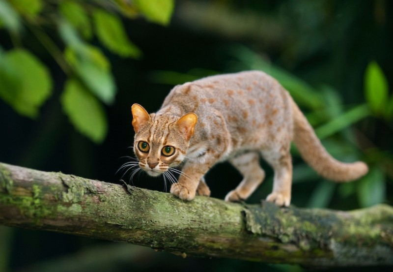 Rusty-spotted-cat-059