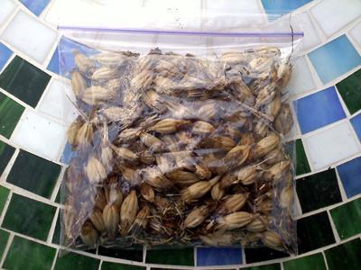 tashkent marigold seeds