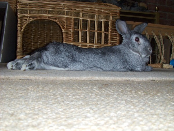 smokey is a long bunny