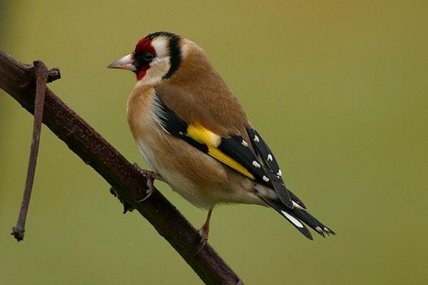 goldfinch512