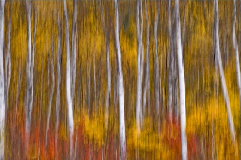 Dene Miles - birch in motion