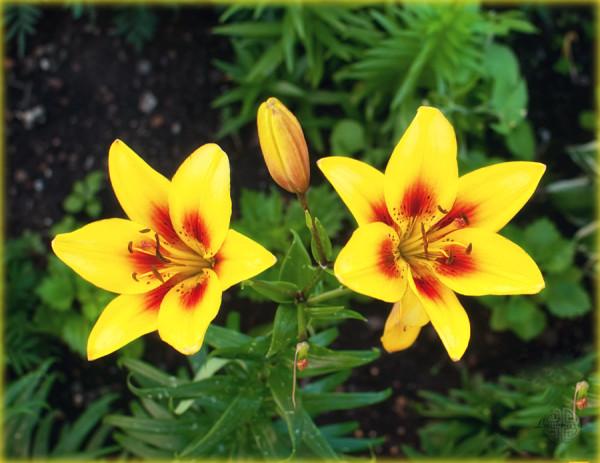 Две золотые лилии