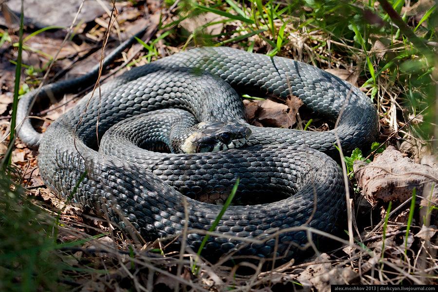 snake001