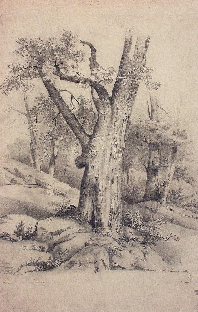 Дуб. 1850-е