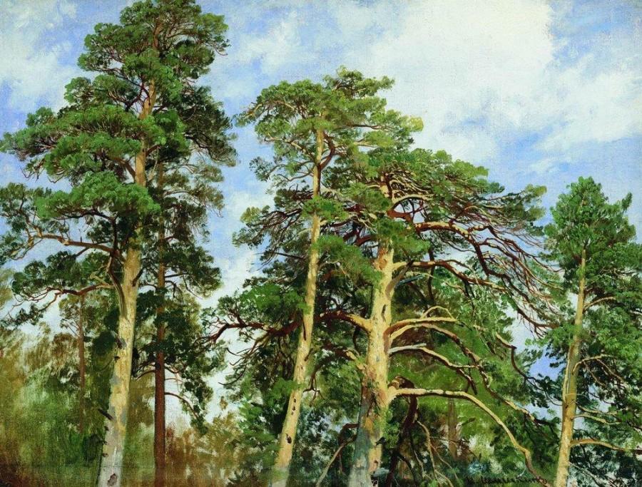 Верхушки сосен. 1890-е.jpg
