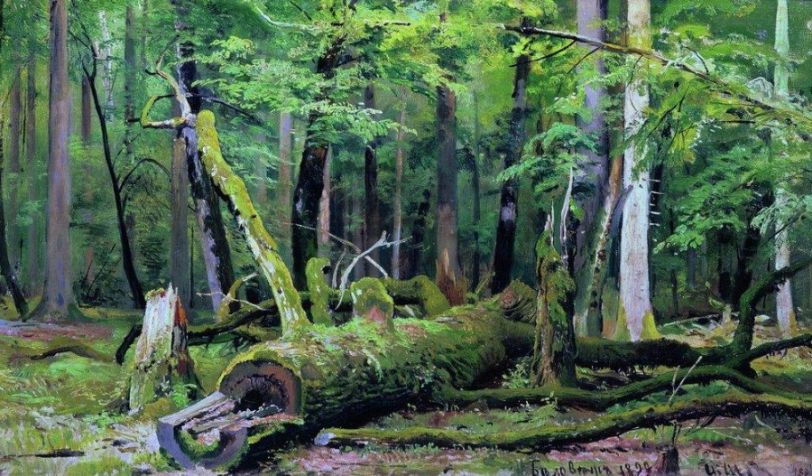 Срубленный дуб в Беловежской пуще. 1892