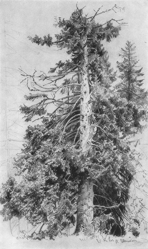 Ель. 1870-е