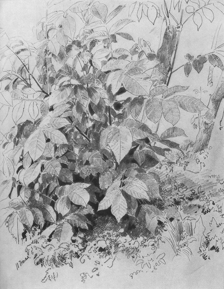 Молодая поросль ореха. 1870-е
