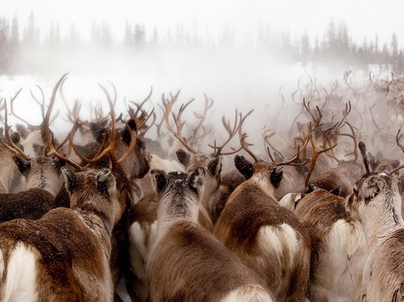 reindeer-gallivare-lapland-sweden_93327_990x742