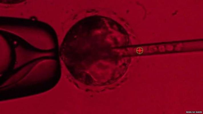 Стволовые клетки человека (в игле) вводят в яйцеклетку свиньи