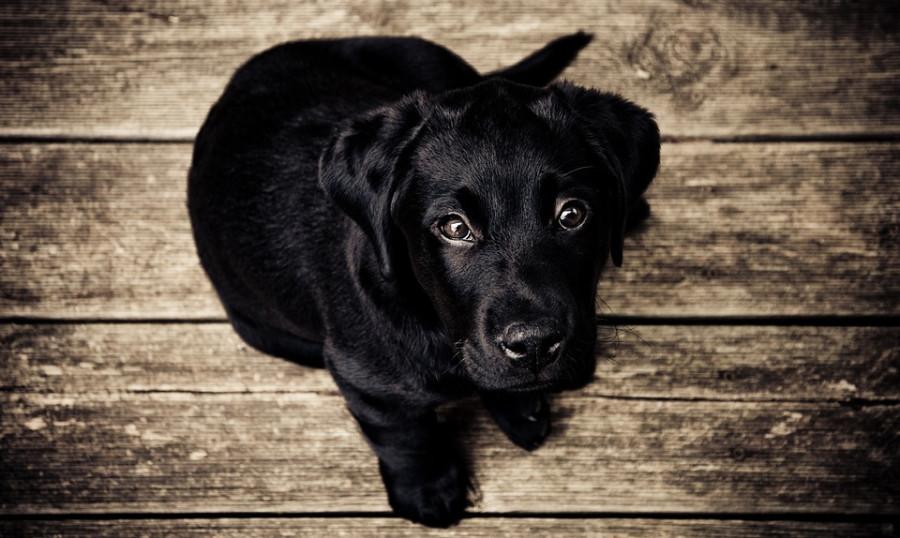 puppy-336707_960_720