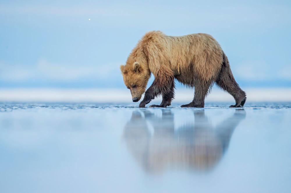 smithsonian-photo-contest-bear-reflection