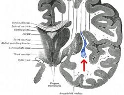 Учёные обнаружили, что стимуляция этой области, получившей название сlaustrum, слабым электрическим током приводит к потере сознания. А после повторной стимуляции этой области сознание возвращается