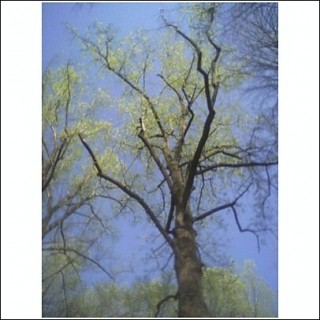 Poplar, Early Spring