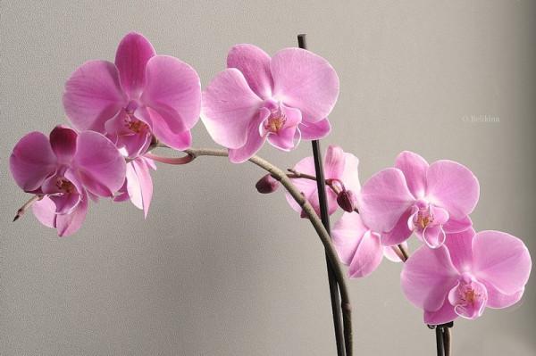 Нежно-розовая орхидея