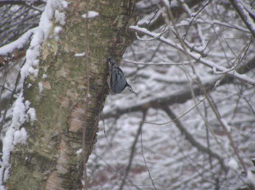 Nuthatch on the tree