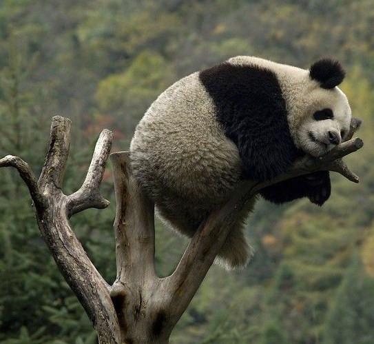 dnes som panda