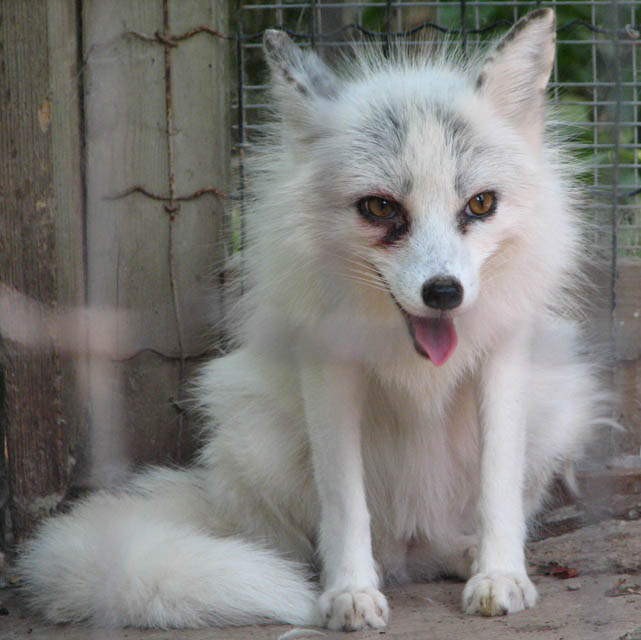 Marble phase red fox