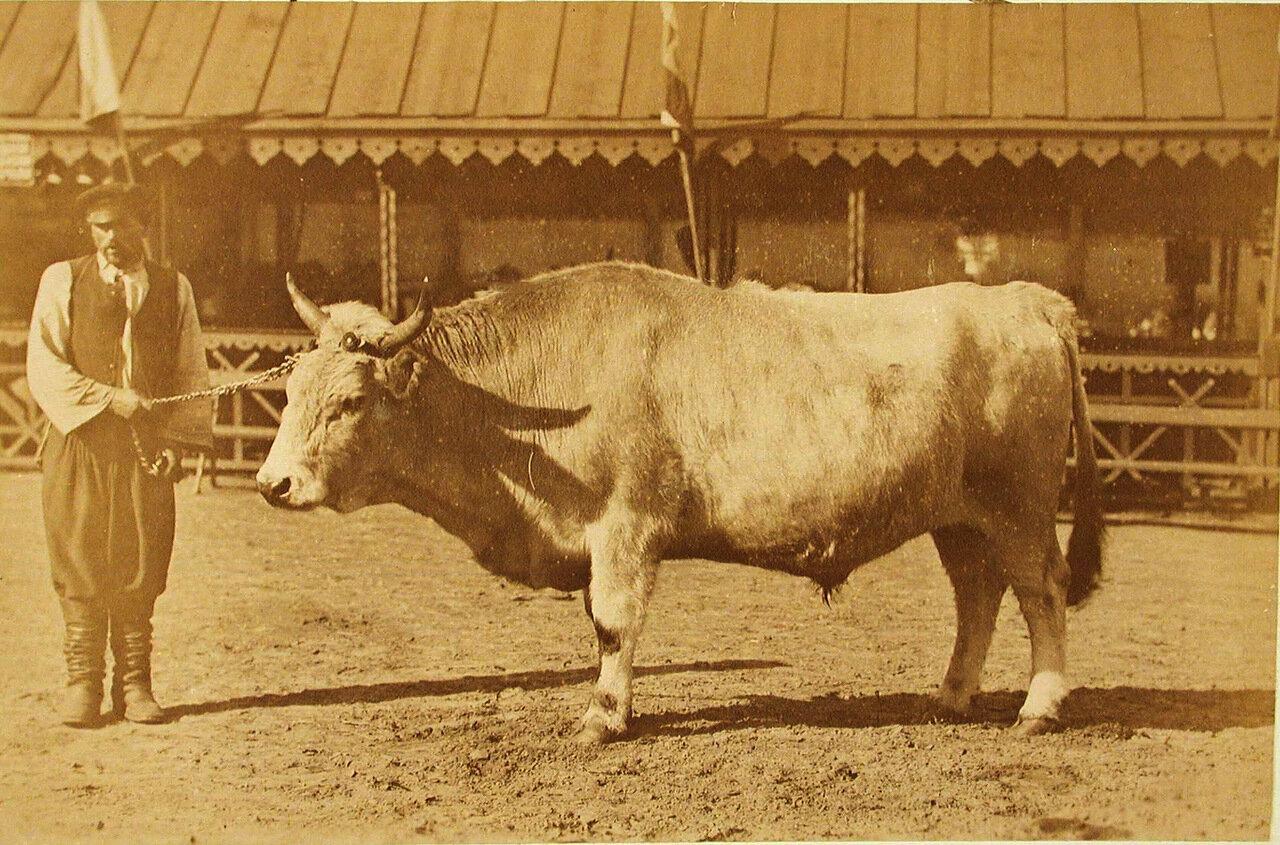 39. Племенной бык завода Семиградова, экспонирующийся на выставке
