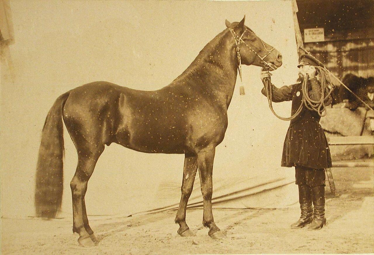 27. Жеребец конного завода Суручана, экспонирующийся на выставке