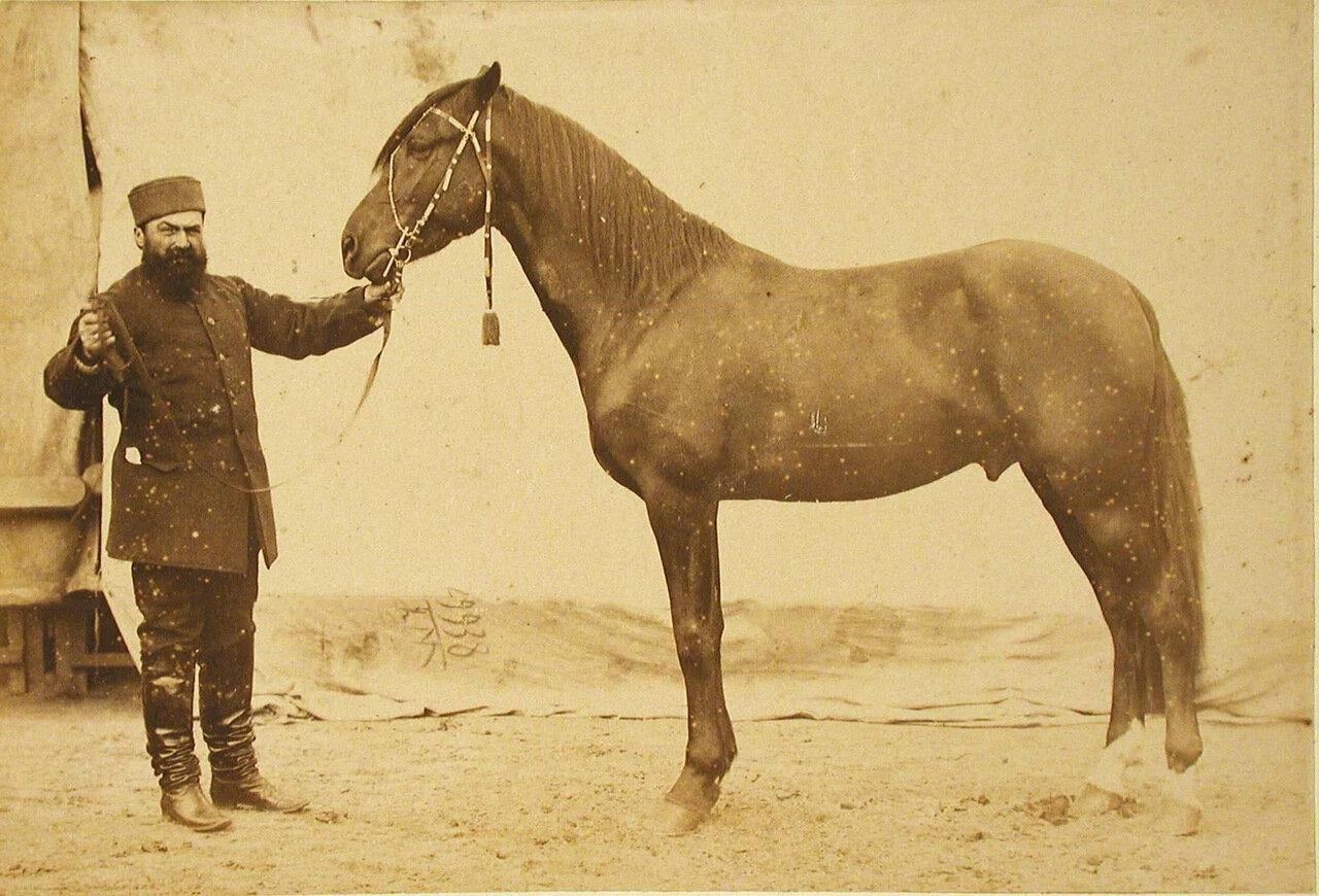 30. Жеребец конного завода Суручана и Бузни, экспонирующийся на выставке