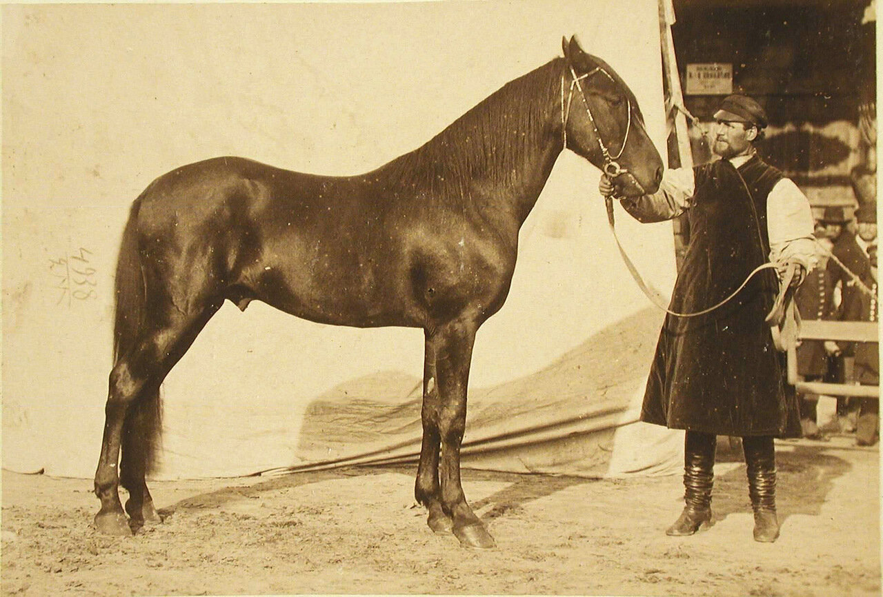 33. Жеребец конного завода Руссо, экспонирующийся на выставке