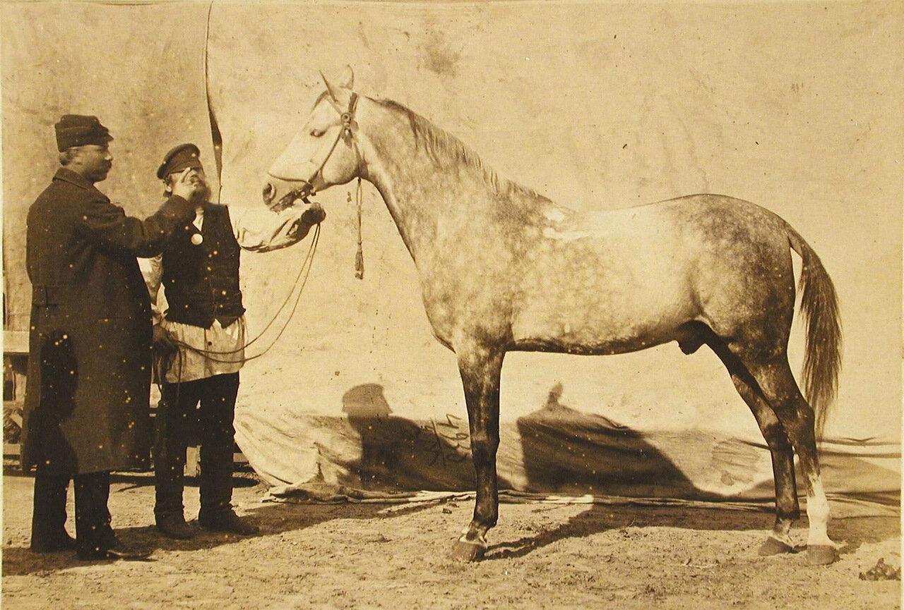 35. Жеребец конного завода Феодосьева и Суручана, экспонирующийся на выставке