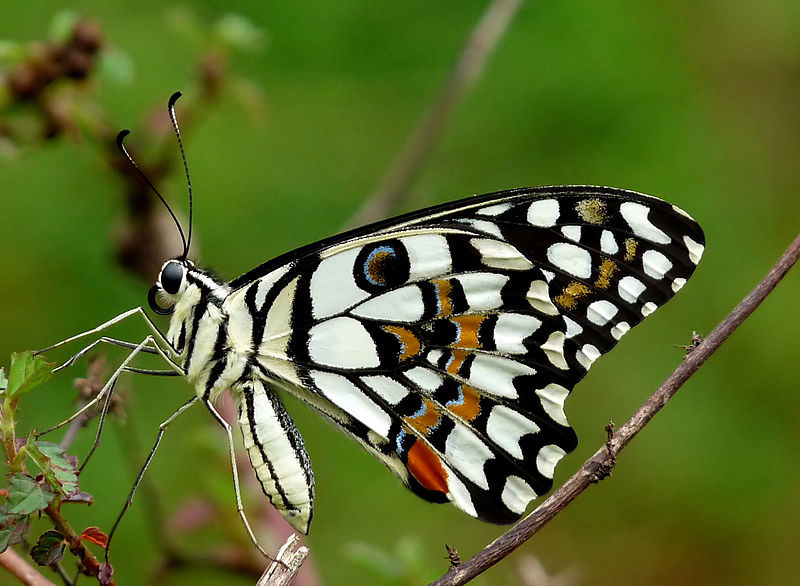 800px-Common_Lime_Butterfly_Papilio_demoleus_by_Kadavoor