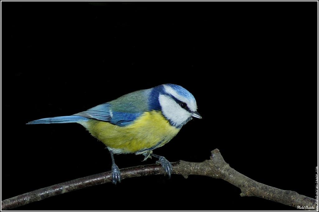 mesange-bleue-201101291
