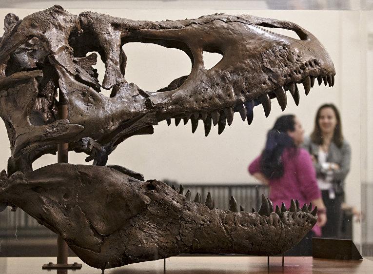 Череп тираннозавра в музее естественной истории в Вашингтоне/© AP Photo, J. Scott Applewhite