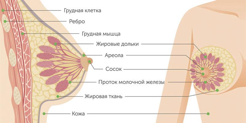 Строение груди / ©Пресс-служба «Европейской клиники»