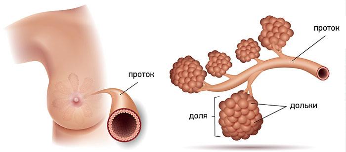 Проток молочной железы / ©Пресс-служба «Европейской клиники»