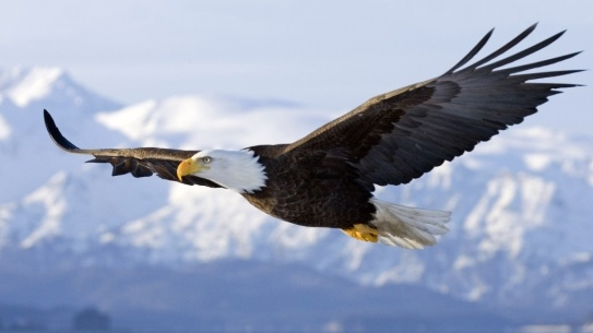 bald-eagle-1024x576