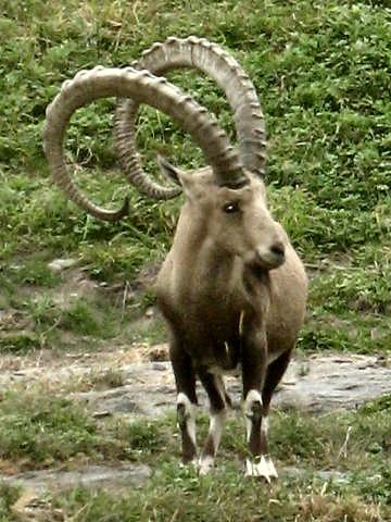Нубийский горный козёл