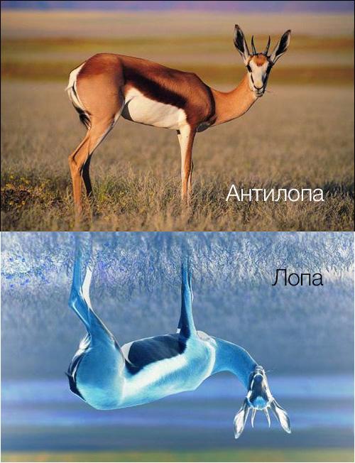 антилопа-лопа