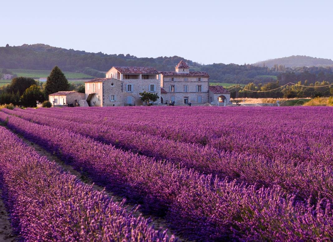 lavender_field1