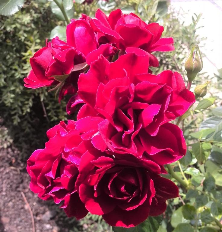 prague-roses