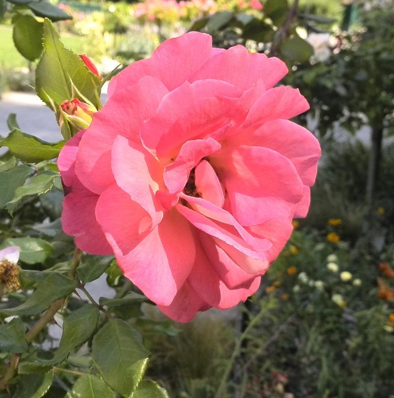 roze0
