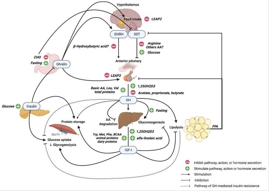 Регулирование между осью ГР/ИФР-1 (GH / IGF-I) / грелина и макроэлементами, голоданием и витамином D. SST = соматостатин; CHO = углеводы; AA = аминокислоты; Leu = лейцин; Вал = валин; Trp = триптофан; Met = метионин; Фенилаланин; BCAA = разветвленная цепь; FFA = свободные жирные кислоты; 1,25 (OH) 2D3 = кальцитриол. [2]