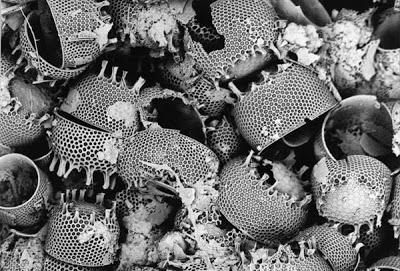 Diatomaceous-Earth-Diatoms