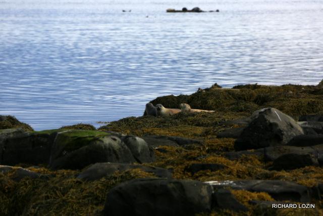 Исландия. Западные фьорды. Морские котики