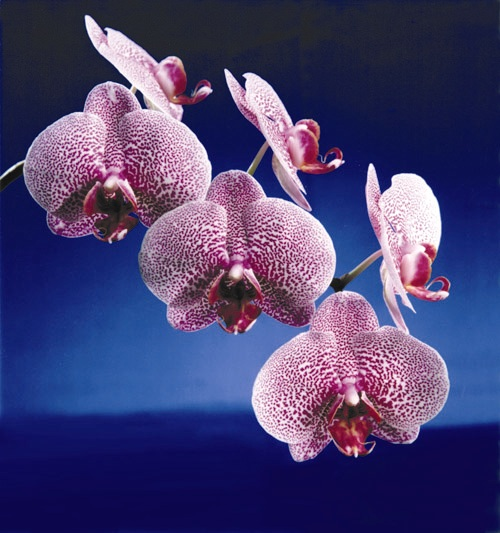 orchidfeature67704