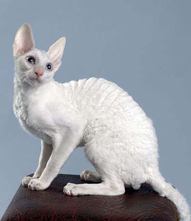 Коты кучерявые фото