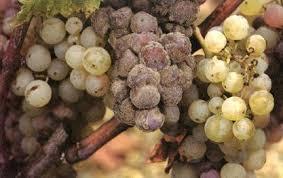 плесени на винограде